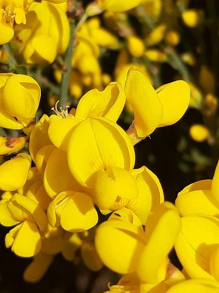 flor piorno