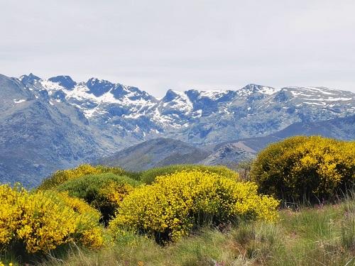Piorno en flor en Gredos, desde San Bartolomé