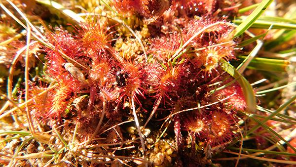 Rocío del sol. Drosera rotumdifolia. CARNIVORA