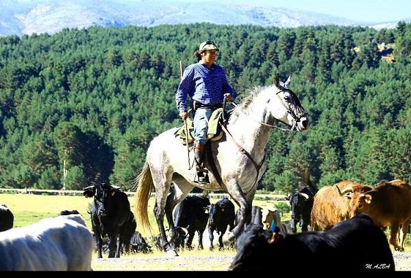 Trashumancia de ganado desde Extremadura a Gredos.