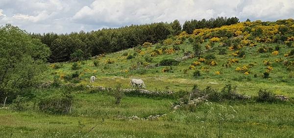 La altitud y la cría en semilibertad de los caballos en Gredos favorecen sus condiciones físicas y morfológicas. Fotografía: Eva Veneros.