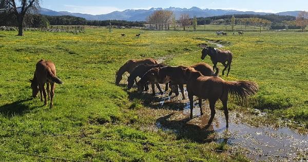 Caballos pastando en La Nava, en Navarredonda de Gredos. Foto: Eva Veneros.