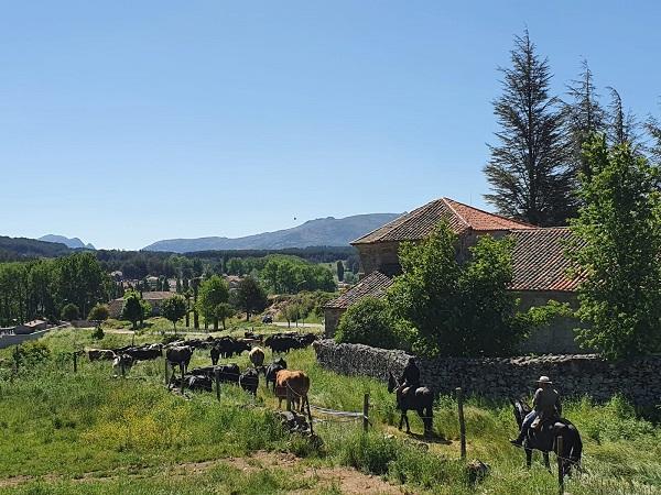 trashumancia de ganado en la sierra de gredos