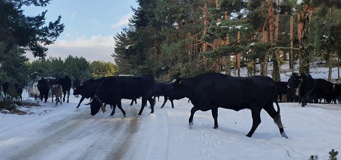 Vacas trashumantes en Gredos.