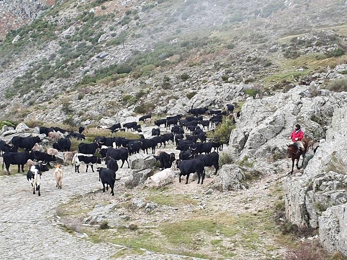 Piara de vacas por el Puerto del Pico, Ávila
