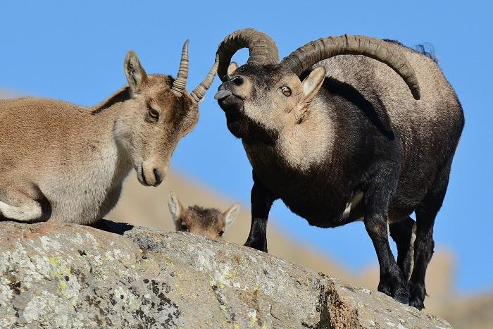 celo de la cabra montesa en Gredos