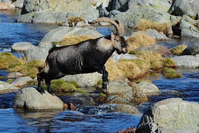 macho montés saltando en el río