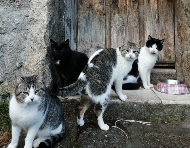 Gatos de pueblo. Gredos