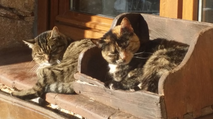 gatos de pueblo