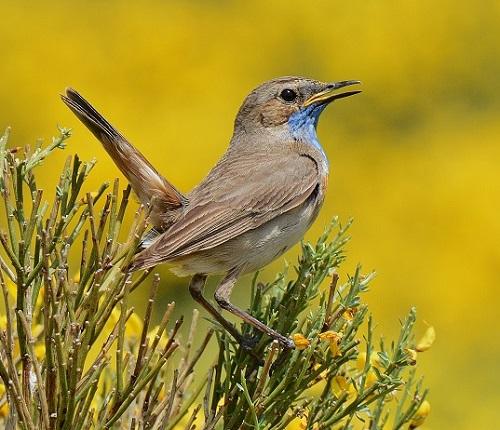 Pechiazul. turismo ornitológico. Fotografía: Luis Alfonso Apausa. Hostal Almanzor.