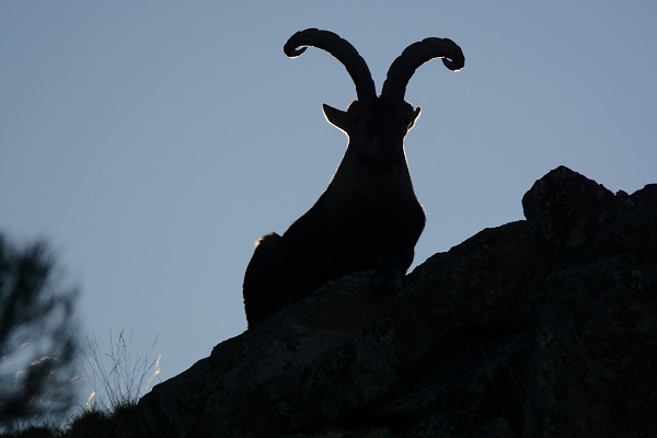 cabra gredos