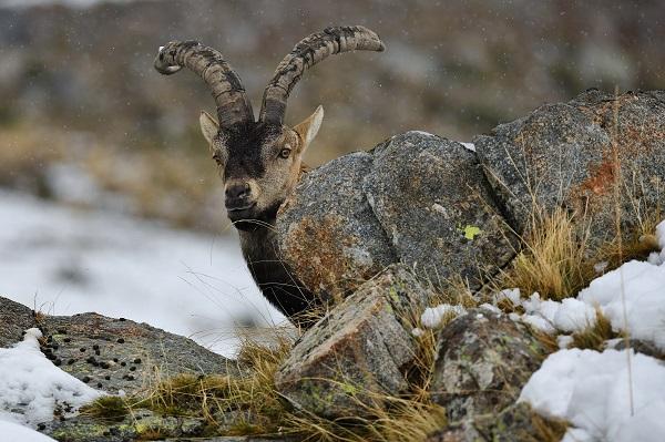 El 80% de los cazadores de machos son extranjeros. Fotografía: Luis Alfonso Apausa.