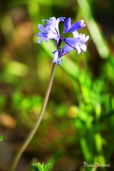 Jacinto de los bosques. Hyacinthoides hispánica.