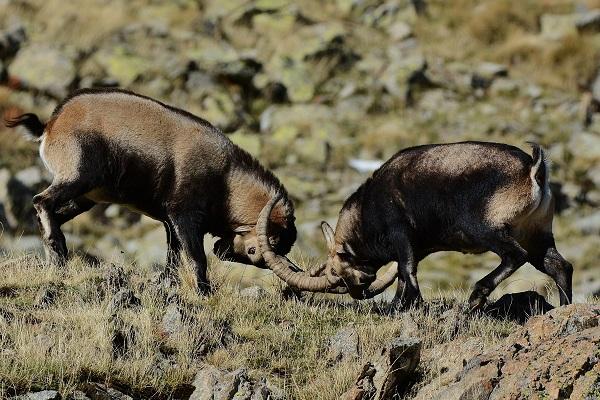 Pelea de machos en Gredos. Cabras