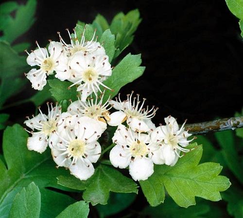Espino blanco (Crataegus monogyna, o C.oxycantha (Rosaceae)