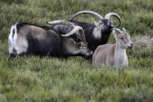 cortejo de cabras en Gredos
